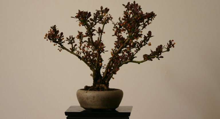 Shohin Barberry