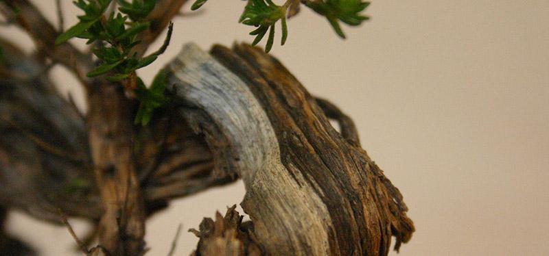 Thyme deadwood