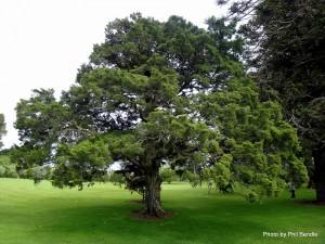 Juniperus_chinensis__Chinese_juniper-001