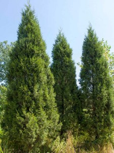 juniperus_chinensis_0