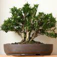 Box multi-trunk bonsai